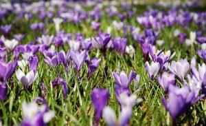 Violetteja krookuksia. Kuvituskuva.